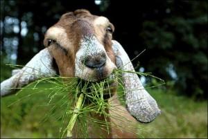 goat-300x201